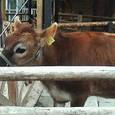 ジャージー牛**