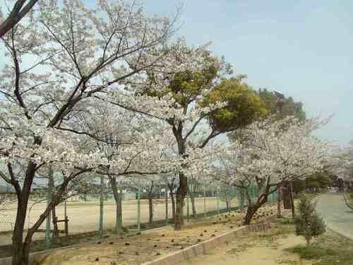 城跡公園の桜。